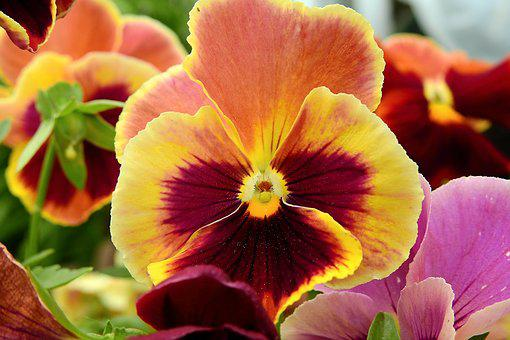 Pansies, Nature, Garden, Colorful