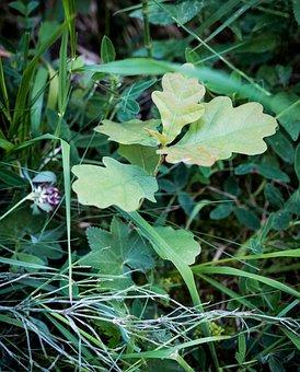 Leaves, Oak, Oak Leaves, Green, Growth, Nature, Autumn