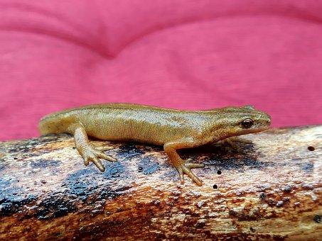 Newt, Pond Pig, Amphibian, Salamander, Water Pig, Log