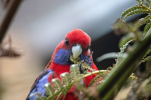 Rosella, Close Up, Bird, Wild, Animal, Nature, Parrot
