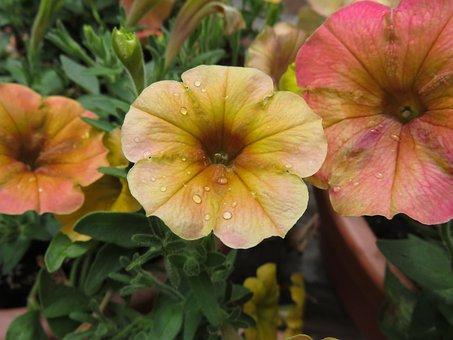 Petunia, Flower, Colorful, Orange, Pink, Water