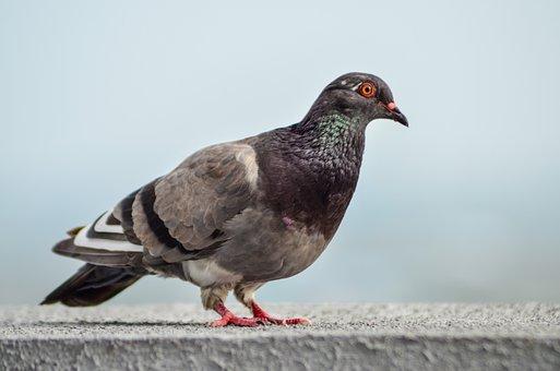 Paloma, Ave, Nature, Pigeons, Peak, Wings, Fauna