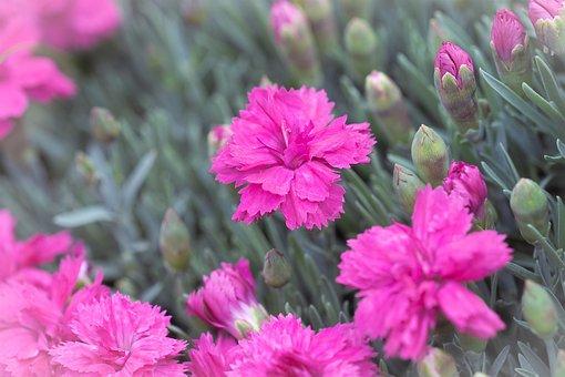 Cloves, Cushion Flower, Pink, Pink Flowers