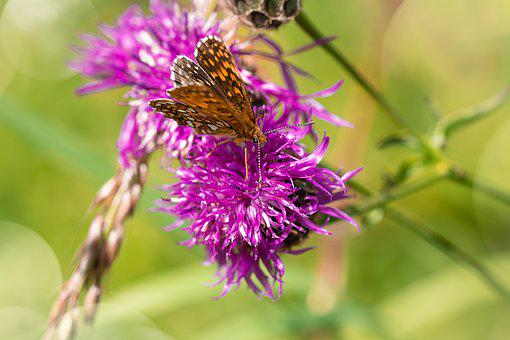 Butterfly, Flower, Pointed Flower, Flight Insect