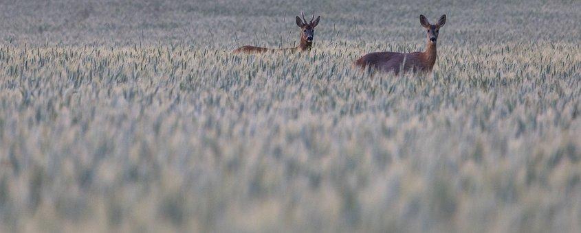 Deer, Red, Grass, Nature, Calf, Wild, Brown, Animal