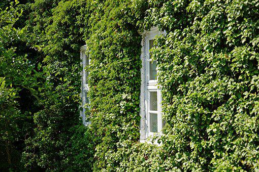 Facade, Ivy, Window, Hauswand, Climber, Romantic