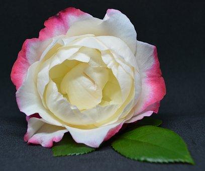 Rose, Pink, Flower, Blossom, Bloom, Romantic, Nature