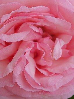 Rose, Flower, Nature, Blossom, Bloom, Orange