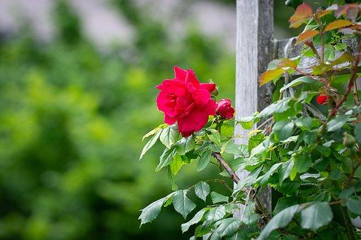 Rose, Garden, Red Roses, Rose Garden, Flower