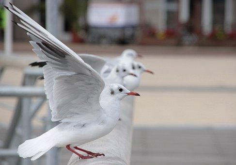 Seagull, Baltic Sea, Sea, Water, Bird, Water Bird, Fly