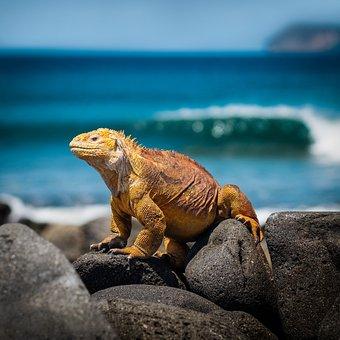 Iguana, Lizard, Galapagos, Sea, Reptile, Scale, Animal