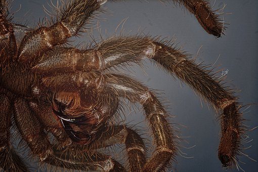Skinning, Tarantula, Macro, Close Up, Spider Skin