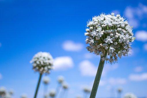 Flower, Onion, Nature, Brands, Italy, Spring, Leek
