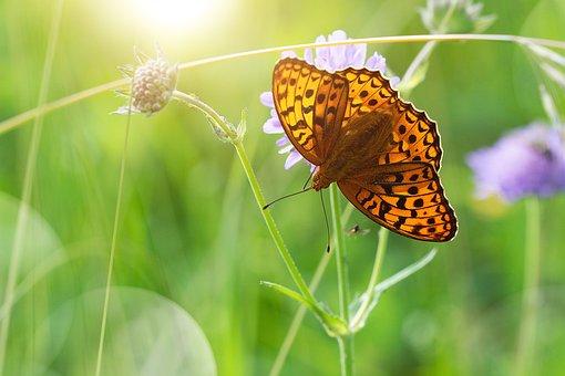 Butterfly, Edelfalter, Summer, Summer Meadow, Nature
