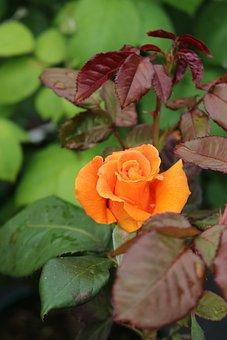 Rose, Vavavoom, Summer, Orange