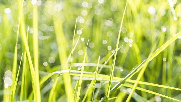 Grass, Bokeh, Morgenstimmung, Taureif, Ripe, Morning