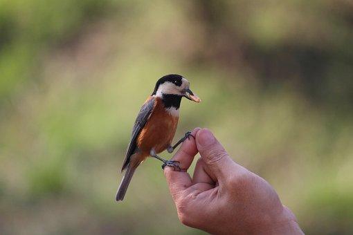 Varied Tit, Bird, Nature, Birds, Landscape