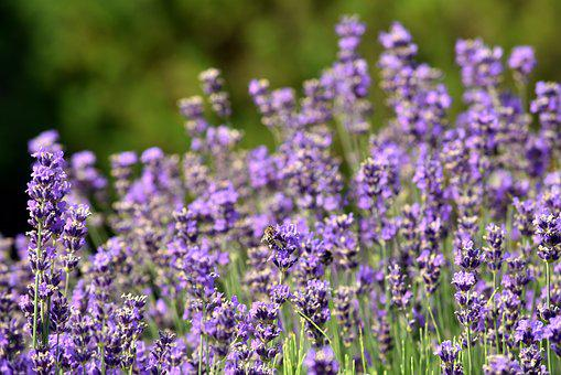Lavender, Flowers, Nature, Purple, Violet, Plant