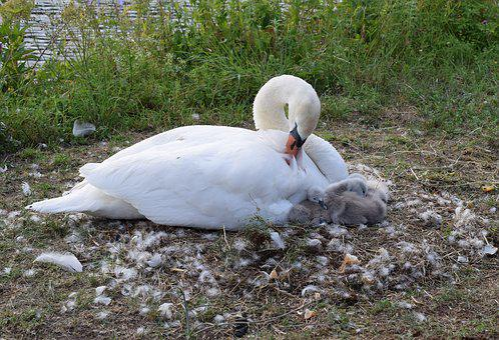 Swan, Chicks, Ducks, Duck Bird, Water Bird, Swans