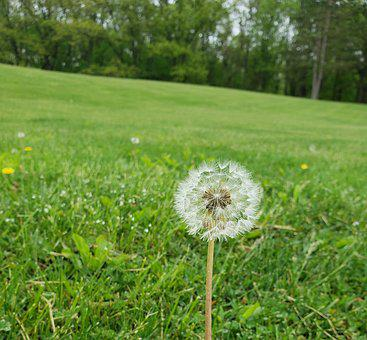 Wish, Dandelion, Dew, Nature, Blow, Plant, Flower, Weed