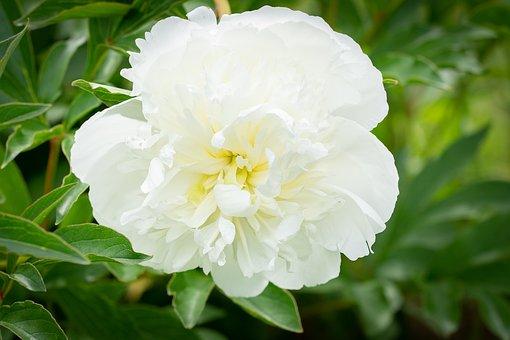 Peony, White, White Peony, Flower, White Flower