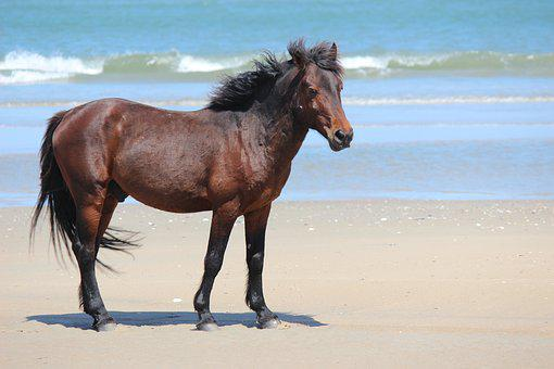 Horse, Corolla, North Carolina, Beach, Wild Horses, Obx