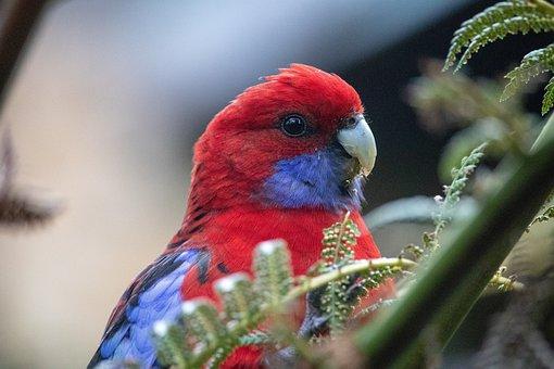 Rosella, Close Up, Portrait, Bird, Wild, Animal, Nature