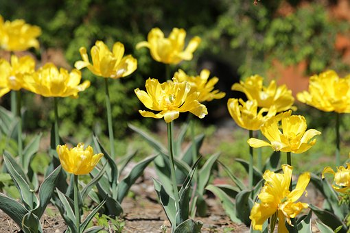 Tulips, Yellow Tulips, Flowers, Spring, Beauty, Nature