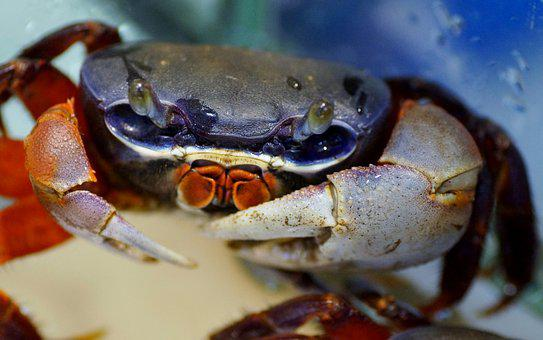 Crab, African, Crustacean, Pincers, The Exotic