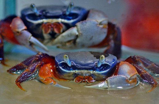 Crab, African, Aquarium, Crustaceans, Crustacean