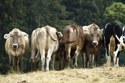 Fauna, Nature, Agriculture, Animal World, Cows, Alpine