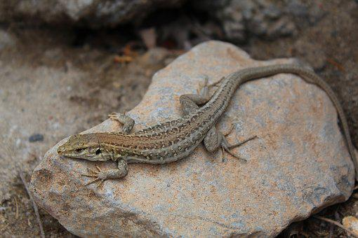 Lizard, Warm, Nature, Heat, Reptile, Animal