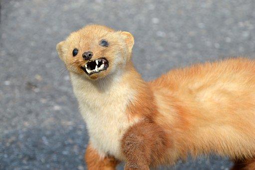 Weasel, Weasel Of Europe, Little Weasel, Mammal, Animal