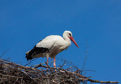 Stork, Bird, Animal World, Animal, Rattle Stork, Storks