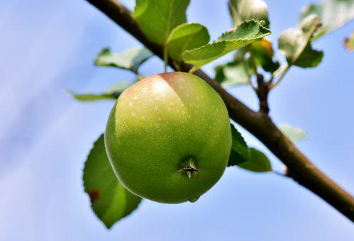 Apple, Apple Tree, Fruit, Apple Orchard, Red, Branch