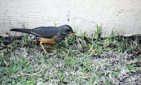 Bird, Avian, Thrush, Feeding, Beak, Prey