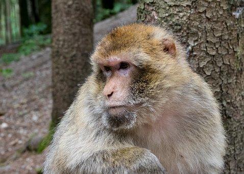 Barbary Ape, Animal, Monkey, Wild Animal, Nature