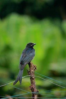 Ashy Drongo, Bird, Black, Dicruridae, Drongo, Nature