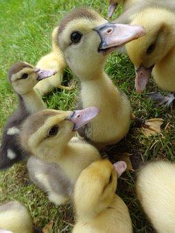 Duck, Duckling, Bird, Spring, Easter