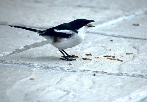Bird, Avian, Fiscal Shrike, Feeding