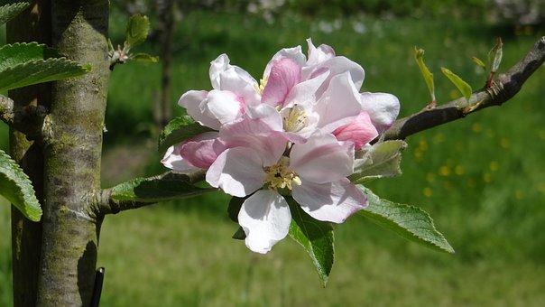 Blossoms, Apple, Apple Blossoms, Spring, Spring Flower