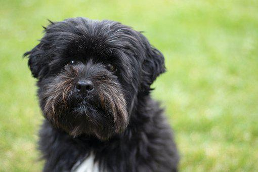 Dog, Black, Boomer, Puppy, Pet, Animal, Cute, Young