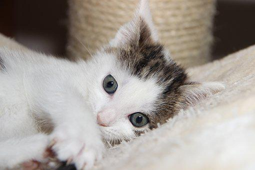Cat, Domestic Cat, Small, Young, Pet, Animal, Mackerel