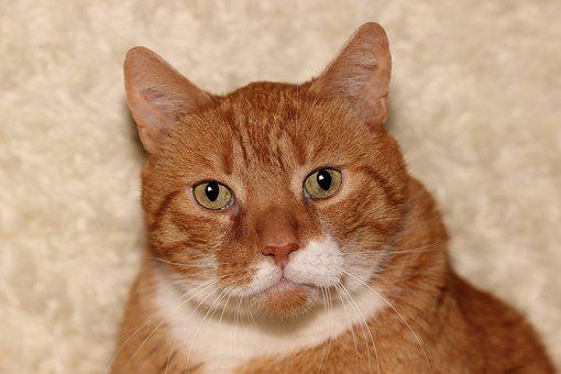 Cat, Red, Pet, Animal, Domestic Cat, Cat Face