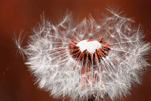 Dandelion, Flower, Nature, Close Up, Pointed Flower