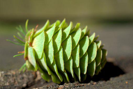 Pine Cones, Green, Fir, Tree, Tap, Periwinkle, Conifer