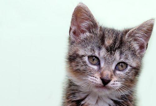 Cat, Domestic Cat, Small, Baby, Pet, Mackerel, Cat Face