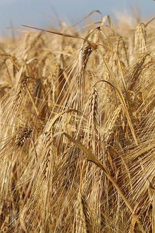 Cereals, Barley, Grain, Field, Ear, Summer, Agriculture