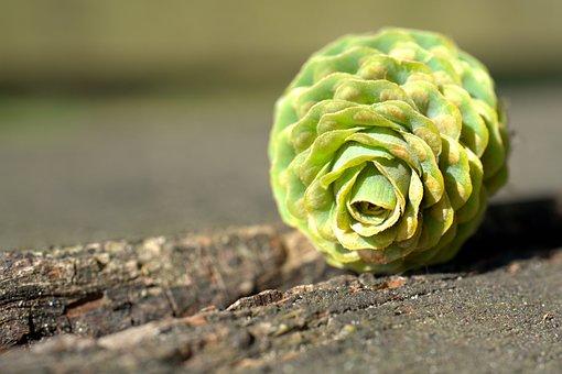 Pine Cones, Fir, Tree, Tap, Periwinkle, Conifer, Wood