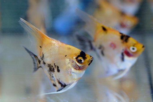 Skalára, Aquarium, Fish, Tropical, Freshwater